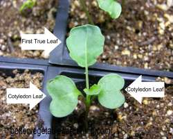 Photo of cotyledon and true leaf