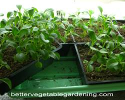 Photo of growing-bush-beans-double-row
