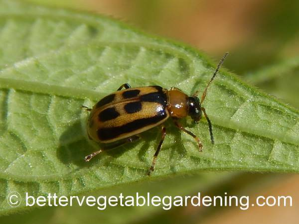 Closeup of bean-leaf-beetle