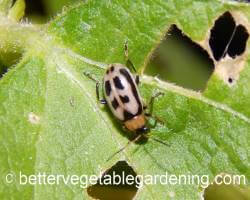 Cream colored bean beetle