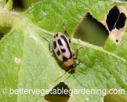 Cream colored bean beetle