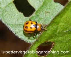 Orange bean beetle