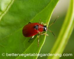 Red bean beetle with no spots