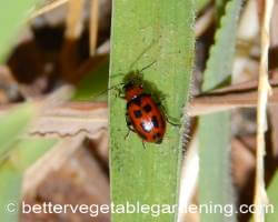 Red bean beetle