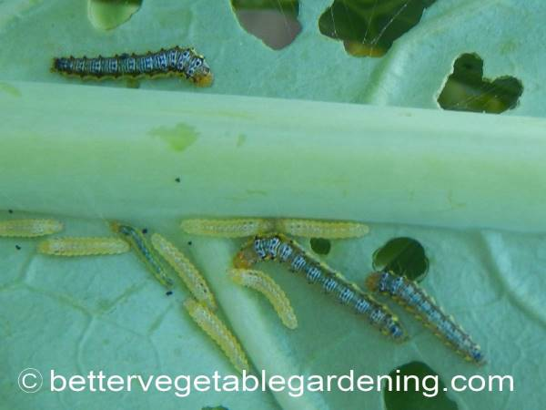 Amazing Identifying Vegetable Garden Pests In The Home Garden Home Interior And Landscaping Ferensignezvosmurscom