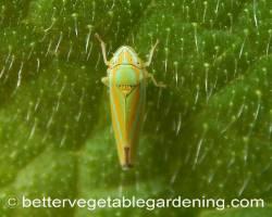 Photo of vegetable-garden-pests-leaf-hopper-green-orange