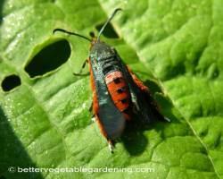 Photo of vegetable-garden-pests-squash-vine-borer-adult