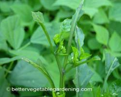 Photo of vegetable-garden-pests-tobacco-hornworm-leaves-eaten
