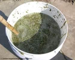 making alfalfa tea in bucket