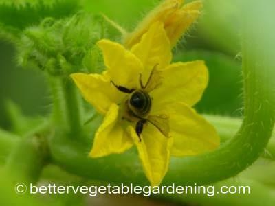 Honey bee pollinating cucumber flower
