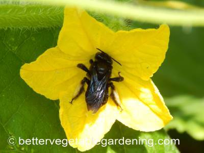 Wild bee pollinating cucumber flower