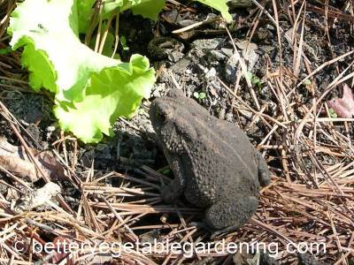 Frogs are beneficial to the garden