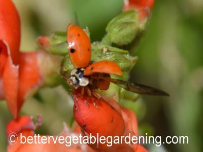 Ladybird beetle about to fly