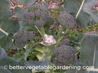 After harvesting the main broccoli head many varieties of heading broccoli develop side shoots that can be later harvested for use