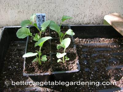 Broccoli seedling ready to plant out