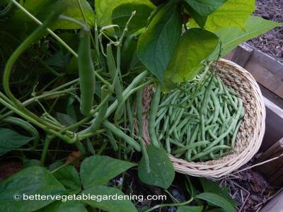Harvesting bush beans regularly will insure the plants produce their maximum yield.