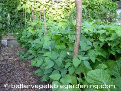 Most bush bean varieties don't need support. However with some semi bush varieties it will help
