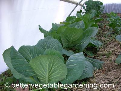 Cabbage can be harvested anytime after the heads form