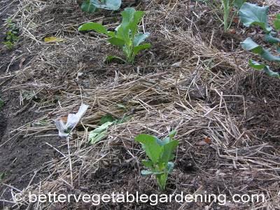 Transplanting cauliflower seedlings