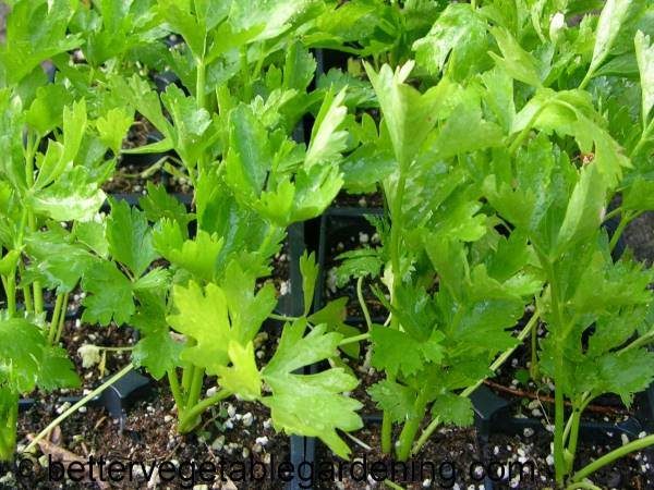 growing-celery is best started in the garden with transplants