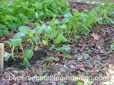 Sowing collard seeds thickly will give you plenty of super young greens to harvest and use raw in salad before many other salad greens are available.