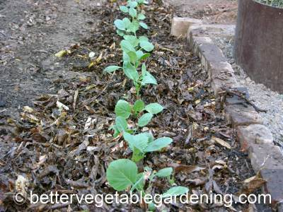 Mulching collard green seedlings will help to conserve soil moisture as well as reduce weeds and keep the soil cool in the summer.