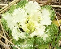 Photo of white flowering kale