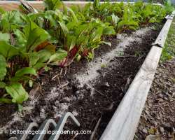 Photo of preparing garden for transplanting seedlings using banding fertilizer method