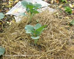 Photo of covering paper mulch with straw
