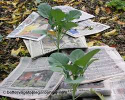 Photo of newspaper mulch
