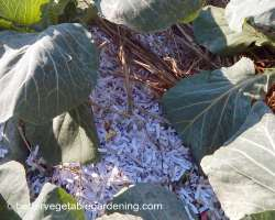 Photo of shredded paper as mulch