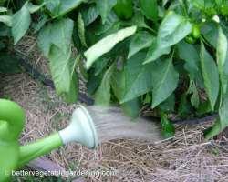 Photo of applying rabbit manure tea