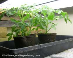 Photo of strong healthy seedlings